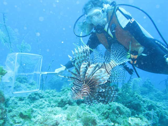 lionfish, depredador, peligro, ecosistema, combatir